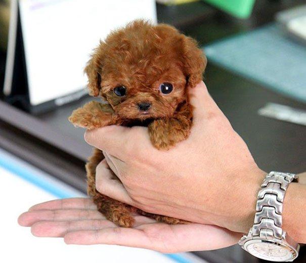 Очаровательные щенки, похожие на плюшевых мишек