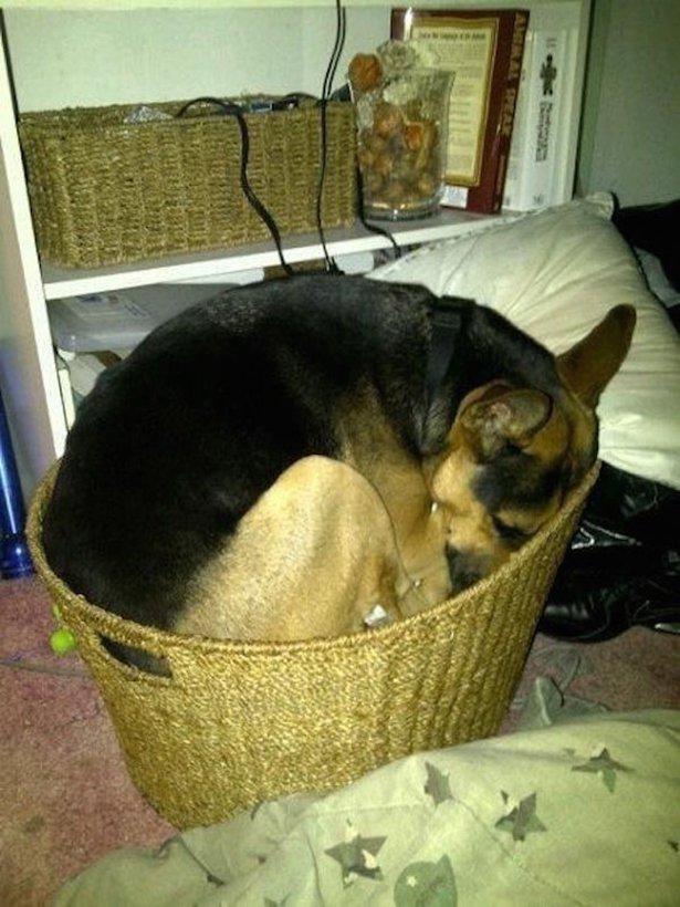 Очаровательные спящие собаки