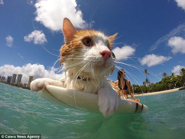 Одноглазый кот рассекает гавайские волны на доске для сёрфинга