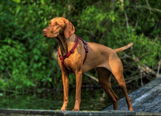 25 самых умных пород собак