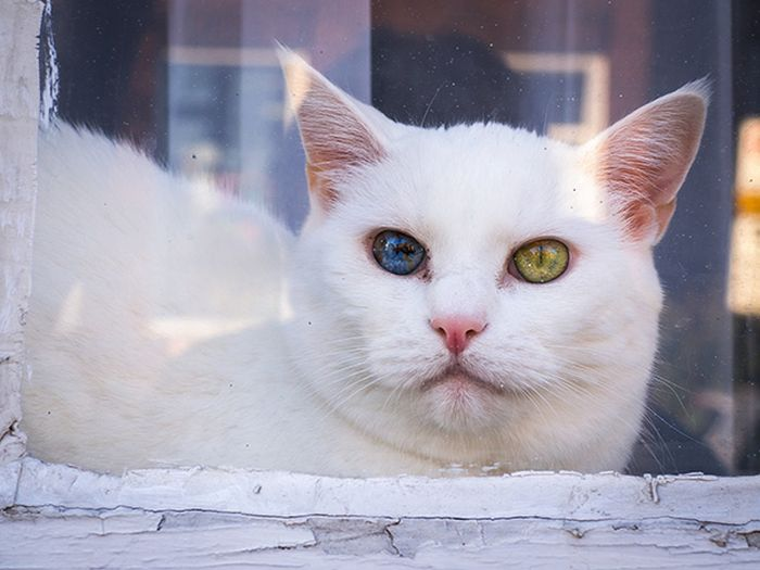 Волшебный взгляд кошек, страдающих гетерохромией