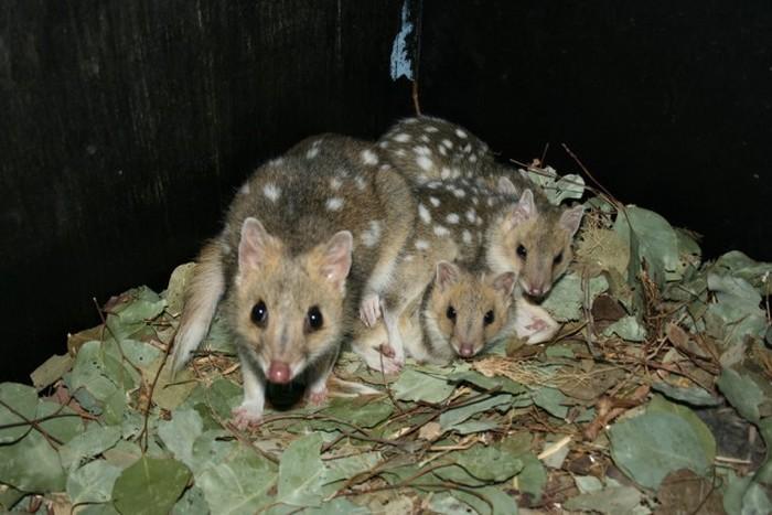 Крапчатая сумчатая куница из Тасмании