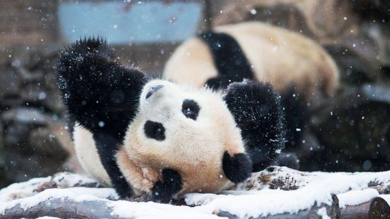 Панды радуются первому снегу