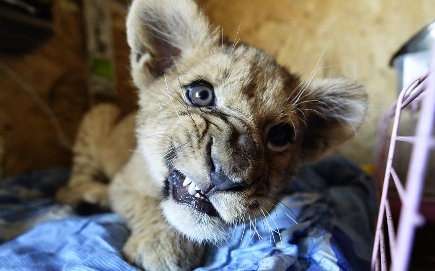 Картинки смешной львенок