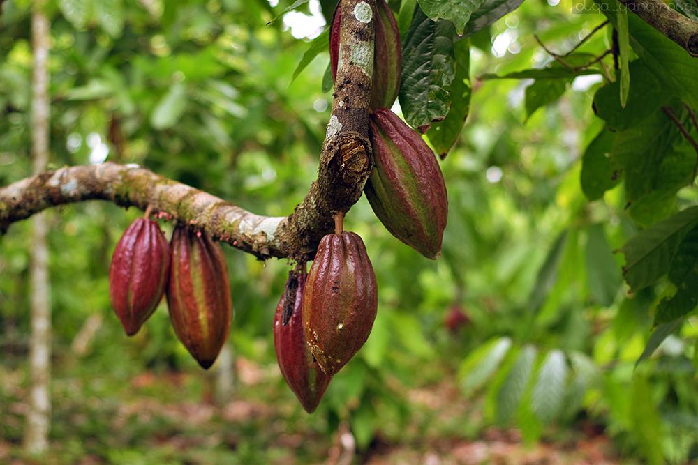 Как в Бразилии выращивают органическое какао