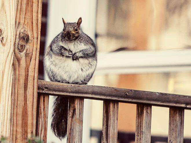 Хорошо подумайте прежде чем подкармливать белку, живущую у вас во дворе