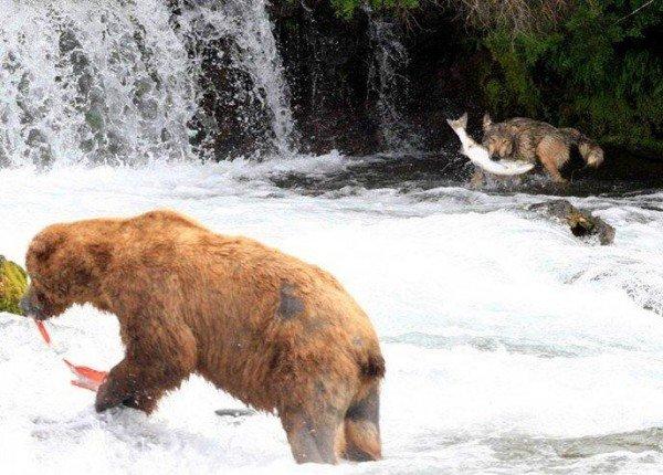 Волк на рыбалке