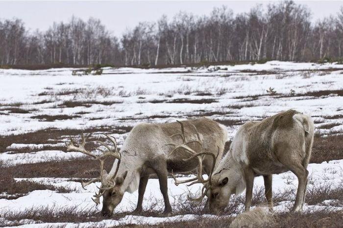 Потрясающие фотографии диких животных от Сергея Горшкова