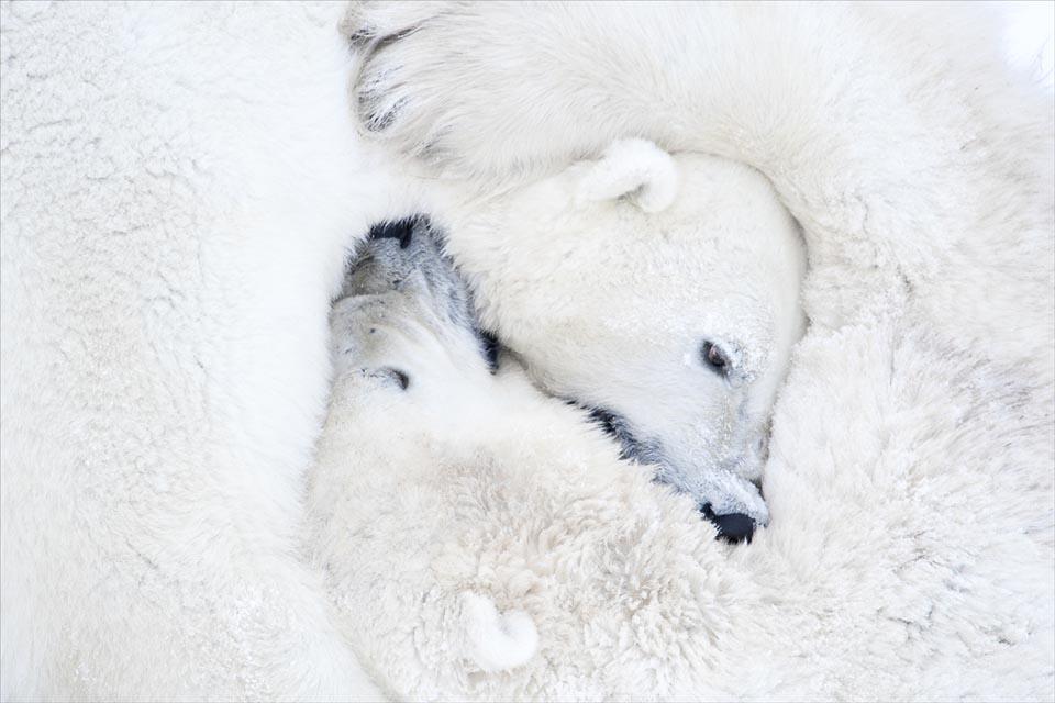 Фотографии с полярными медведями: 117 часов ожиданий в 50-градусный мороз