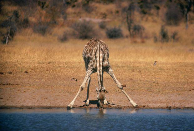 Как пьют жирафы