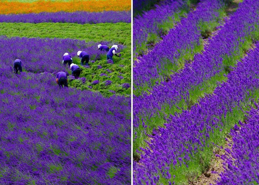 Живописные лавандовые поля