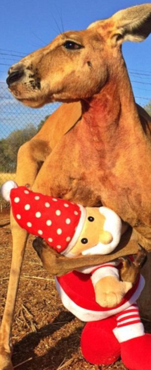 Мускулистый кенгуру по кличке Роджер покорил пользователей сети