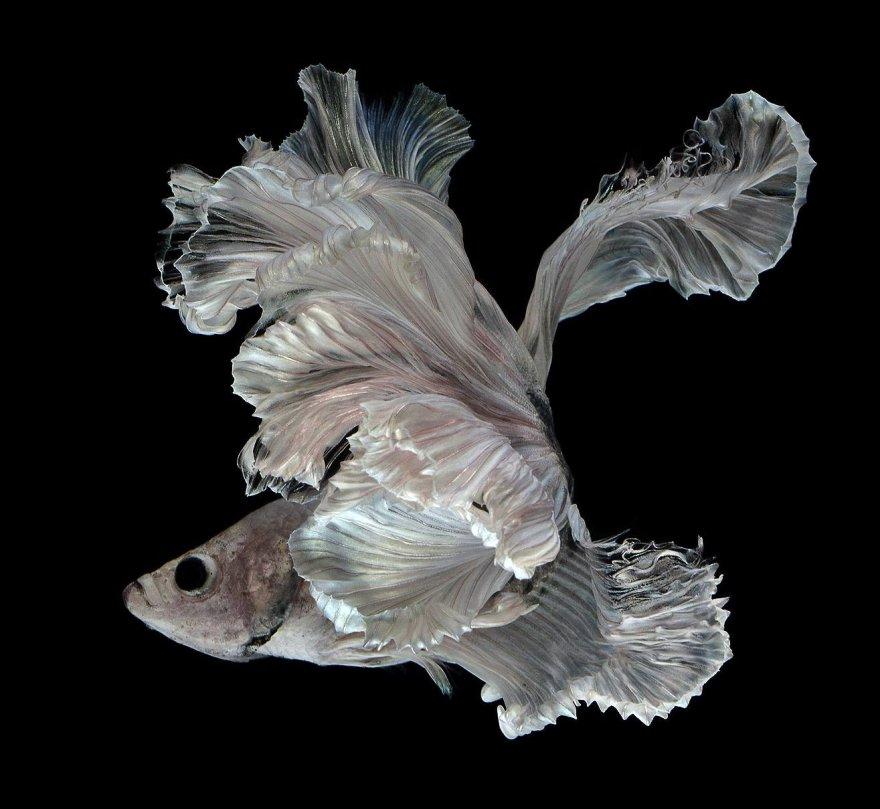 Фотографии сиамских бойцовских рыбок