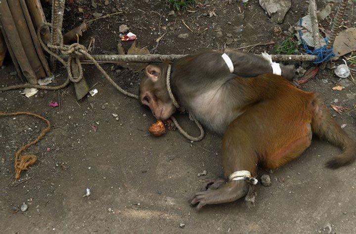 Наказание обезьяны-преступницы в Индии