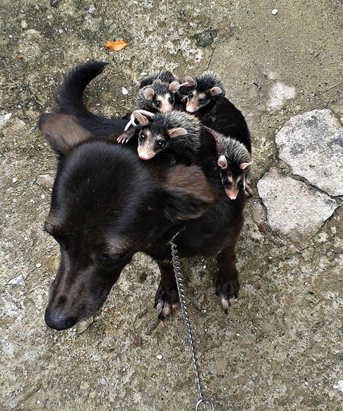 Собака выкормила детёнышей опоссума и катает их на спине