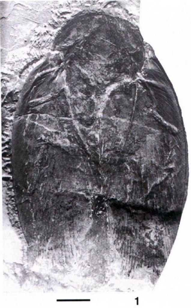 Современный таракан рядом с окаменелостью своего древнего родственника