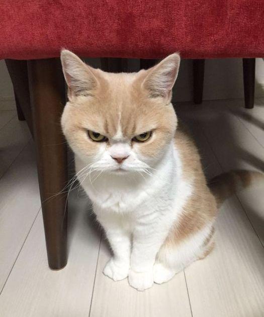 Коюки - новый хмурый кот, который покорил пользователей сети