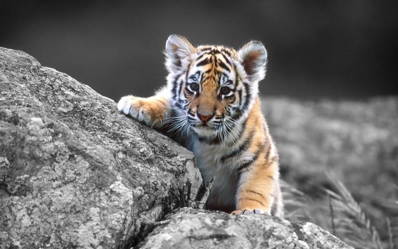 Интересные факты о тиграх