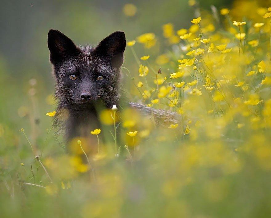 Красота чёрно-бурых лисиц