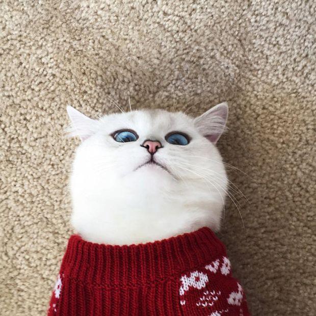 Белый кот Коби с очаровательными глазами