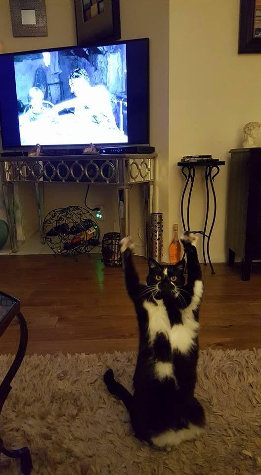 Кот поднимает вверх лапы каждый раз, когда хозяин его фотографирует