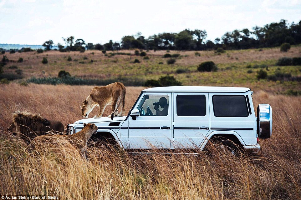 Шикарная фотосессия для Mercedes-Benz с участием диких львов