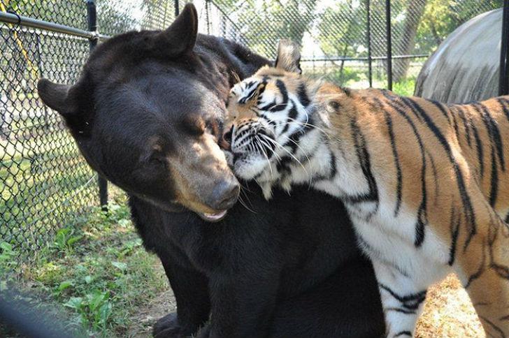 Лев, тигр и медведь — вместе уже 15 лет