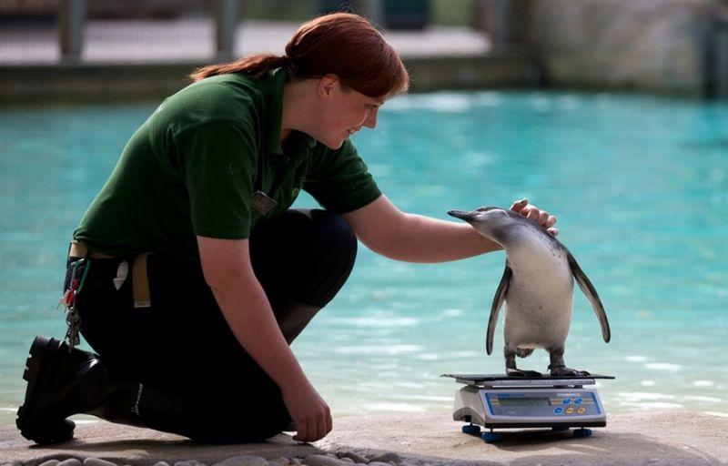 Пингвины, которые очень любят взвешиваться