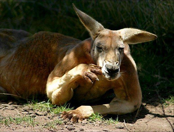 17 интересных фактов о кенгуру