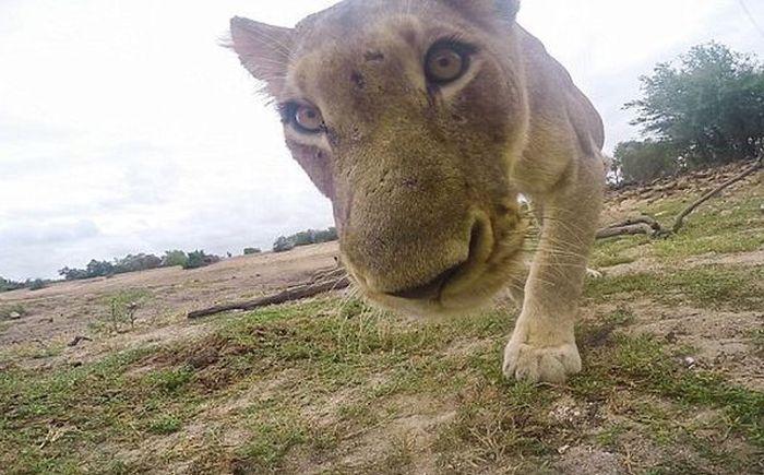 Львица приняла экшн-камеру за свой обед
