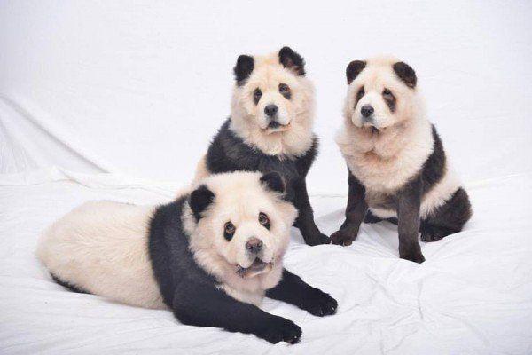 Как превратить чау-чау в панду