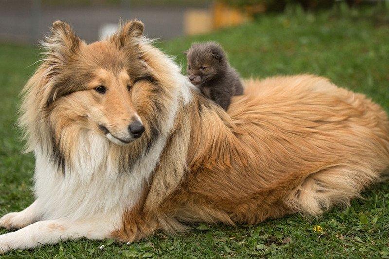 Осиротевший лисенок попал в новую семью