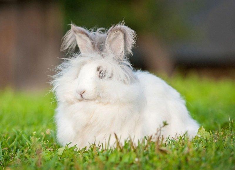 Самая пушистая порода кроликов в мире