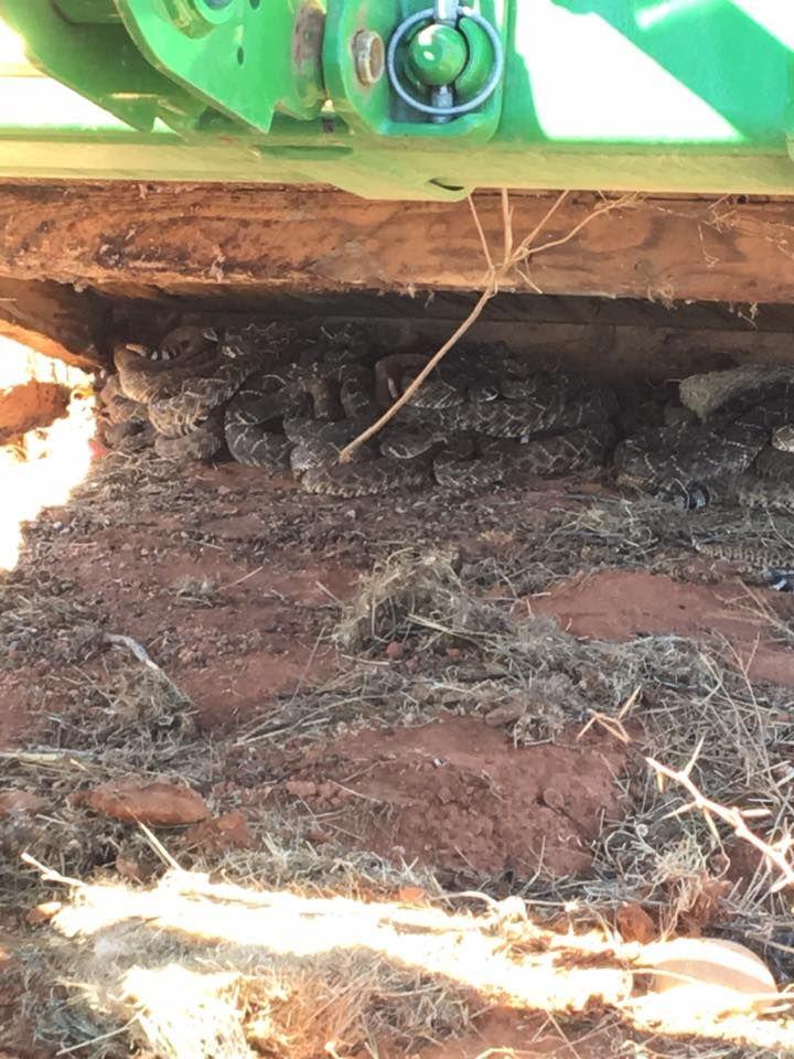 Техасские охотники нашли под охотничьим домиком 26 гремучих змей