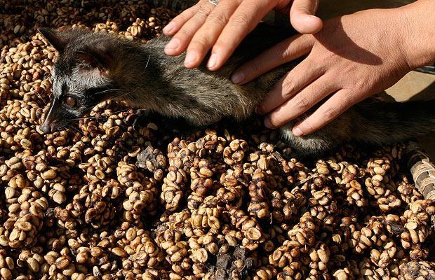 Копи-лувак - необычный кофе