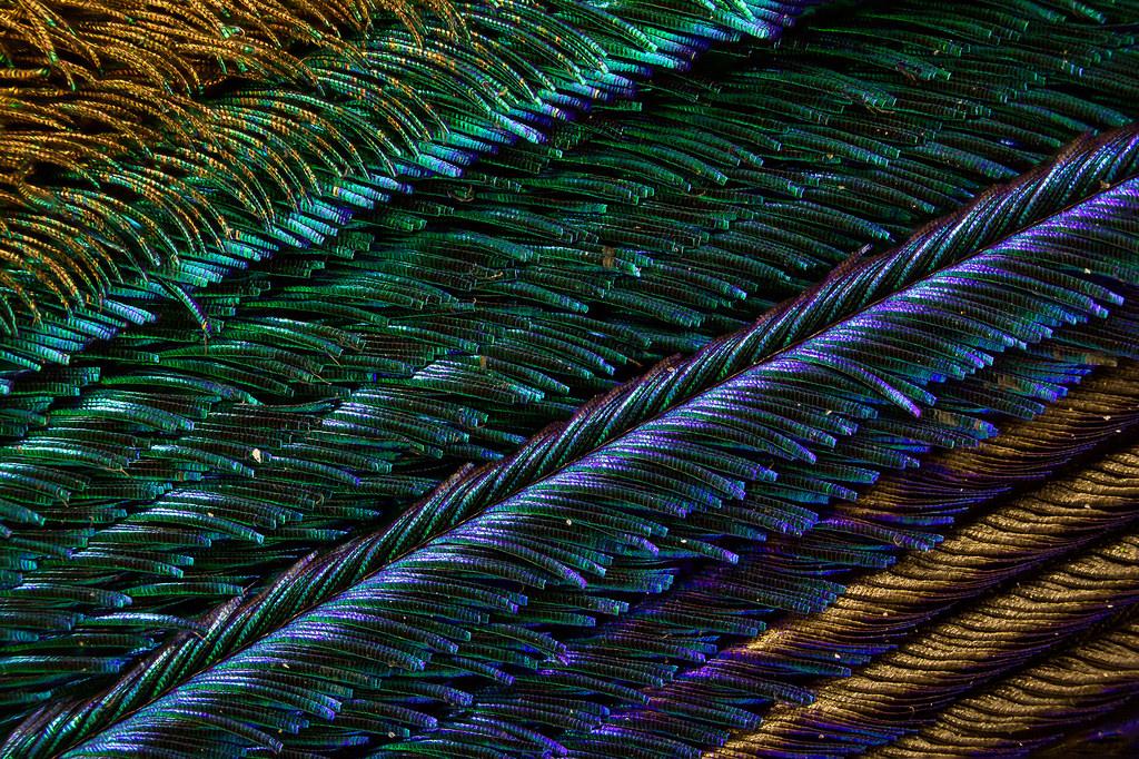 Павлиньи перья под микроскопом от Вальдо Нелла