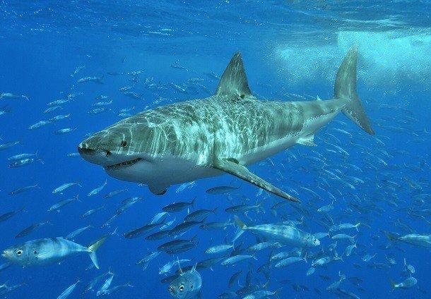 Малоизвестные факты про акул