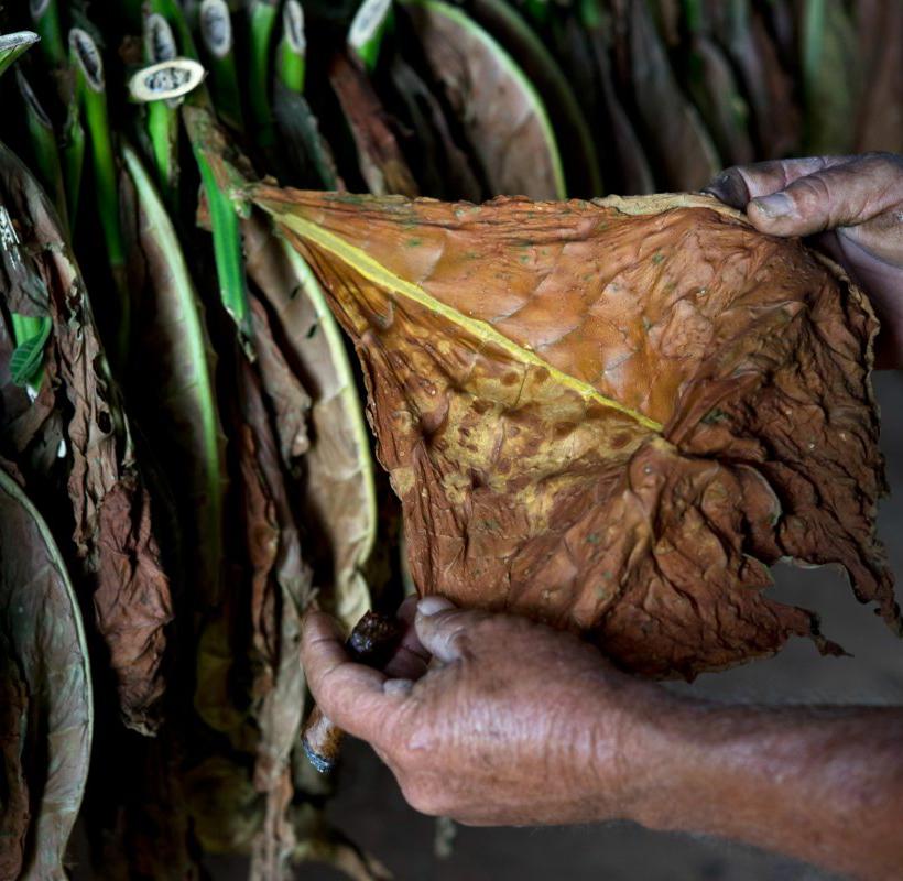 Как делают настоящие кубинские сигары