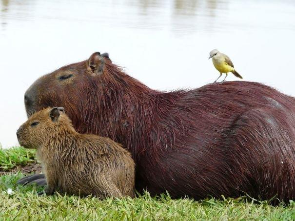 Капибары — очень дружелюбные животные