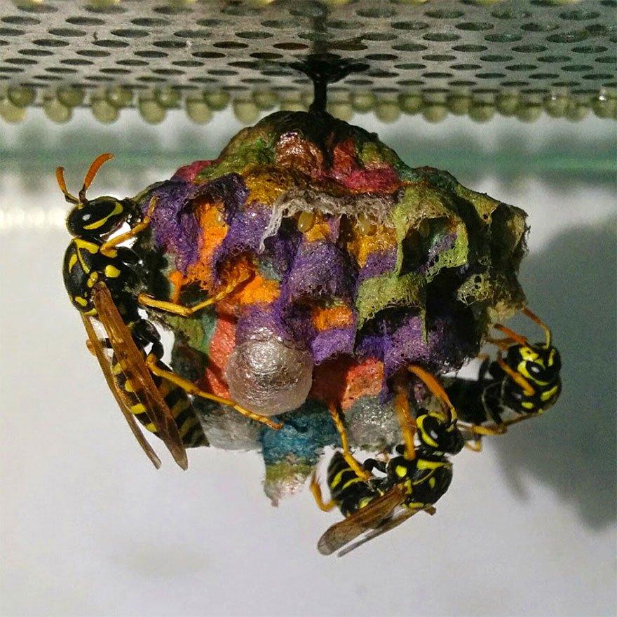 Разноцветные осиные гнёзда