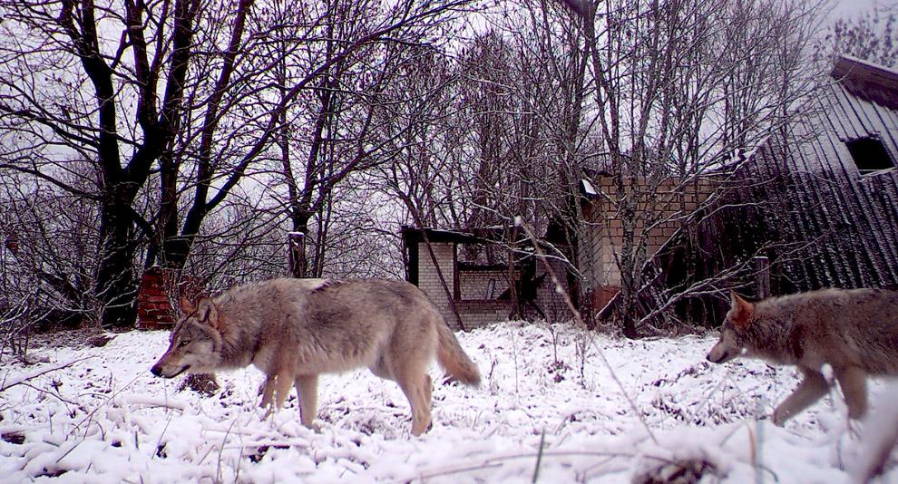 Как выглядят Чернобыльские животные