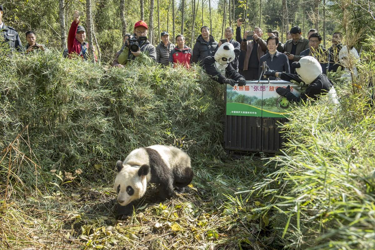 Как выращивают панд в провинции Сычуань