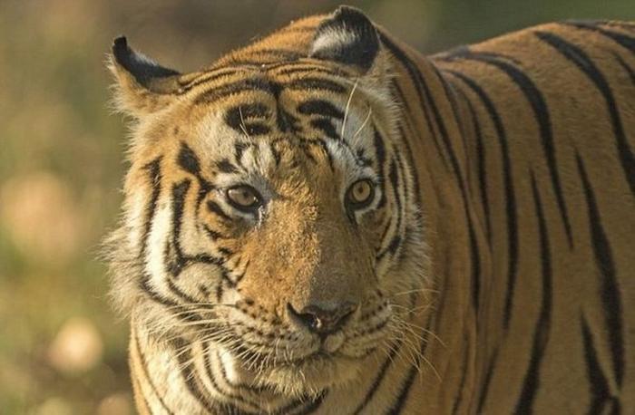 Тигр-кот