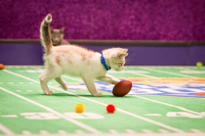 Футбольный чемпионат для котят в США