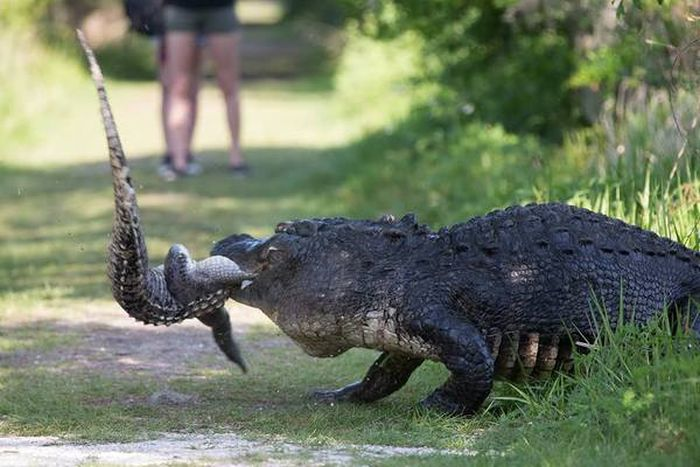 Обычное явление в мире крокодилов