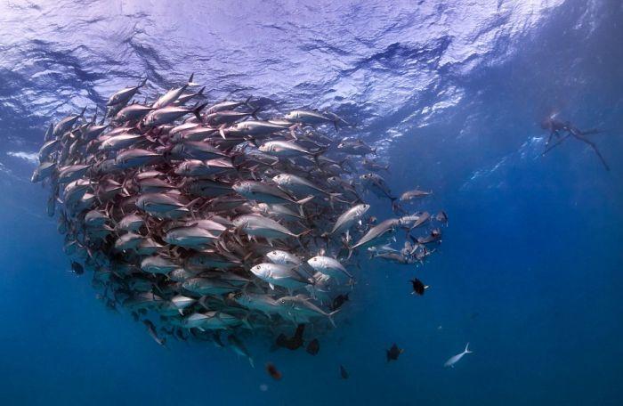 Подводное рыбье торнадо