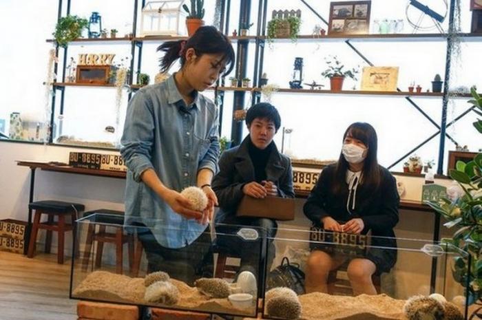 Удивительное кафе с ежиками в Японии