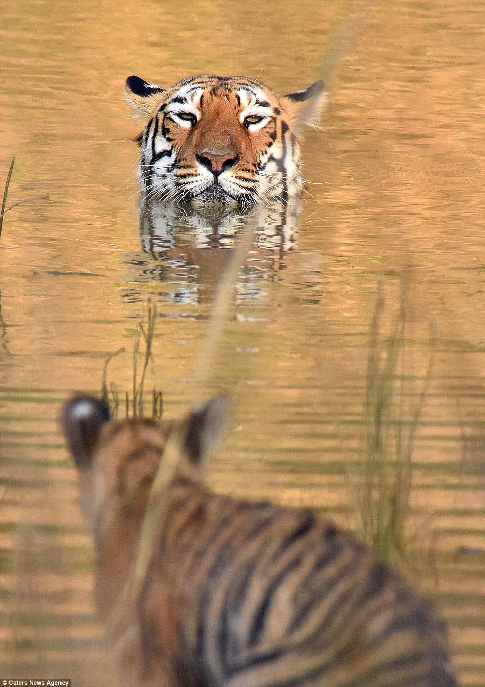 Как тигрица купала своего малыша в реке