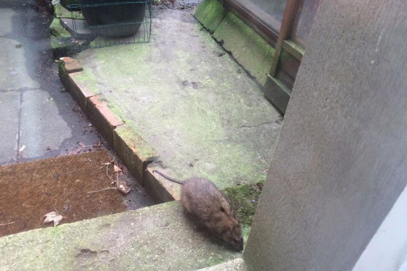 В Англии нашли гнездо гигантских крыс-каннибалов