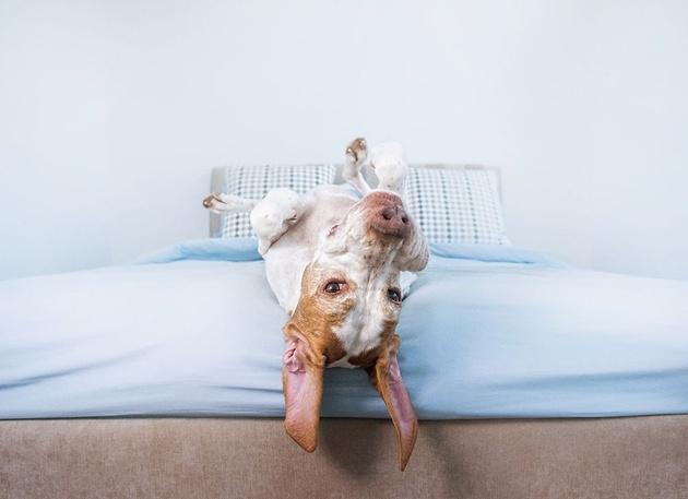 Фотографии собак, лежащих вверх лапами, от Серены Ходсон